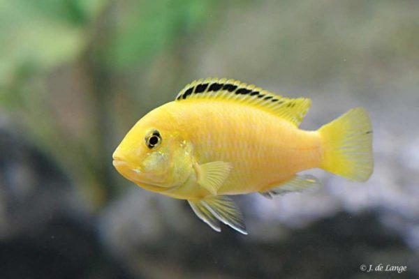 Labidochromis caeruleus - Yellow - Female