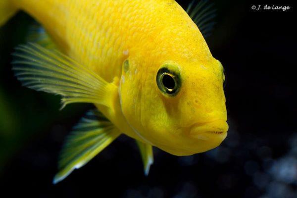 Labidochromis caeruleus - Close up - Female
