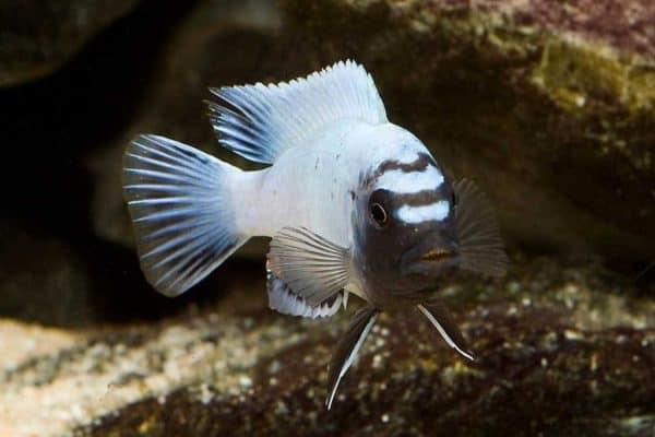 Pseudotropheus sp. polit - Lion's Cove