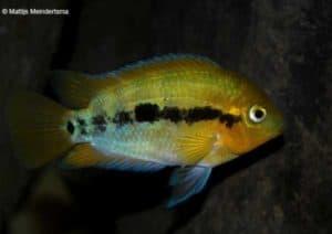 Herotilapia multispinosa - Rainbow Cichlid