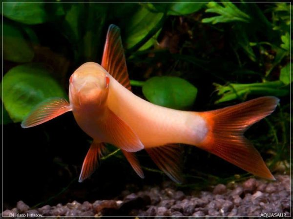 Epalzeorhynchos frenatus - Rainbow Shark