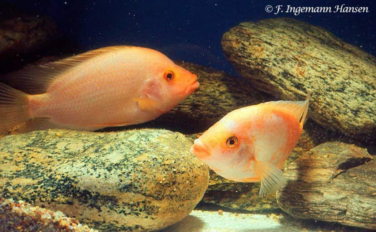 Amphilophus labiatus - Koppel met eieren