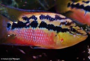 Trichromis salvini - Man
