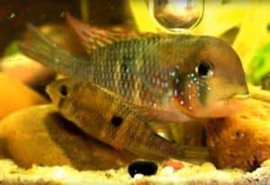 Gymnogeophagus labiatus - Rio Olimar - spawning