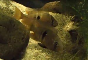 Gymnogeophagus rhabdotus