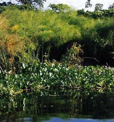Papyrus shoreline