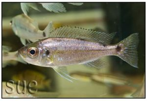 Haplotaxodon trifasciatus