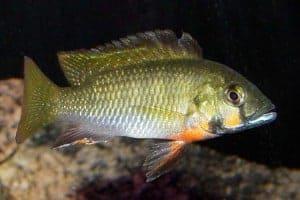 Thoracochromis brauschi - Man