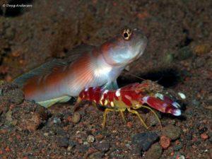 Amblyeleotris yanoi with their symbiose shrimp Alpheus randalli