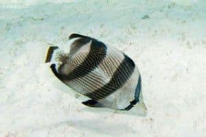 Chaetodon striatus - Banded Butterflyfish