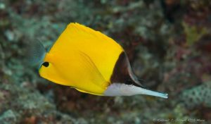 Forcipiger flavissimus - Longnose Butterfly Fish