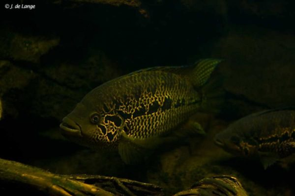 Parachromis loisellei