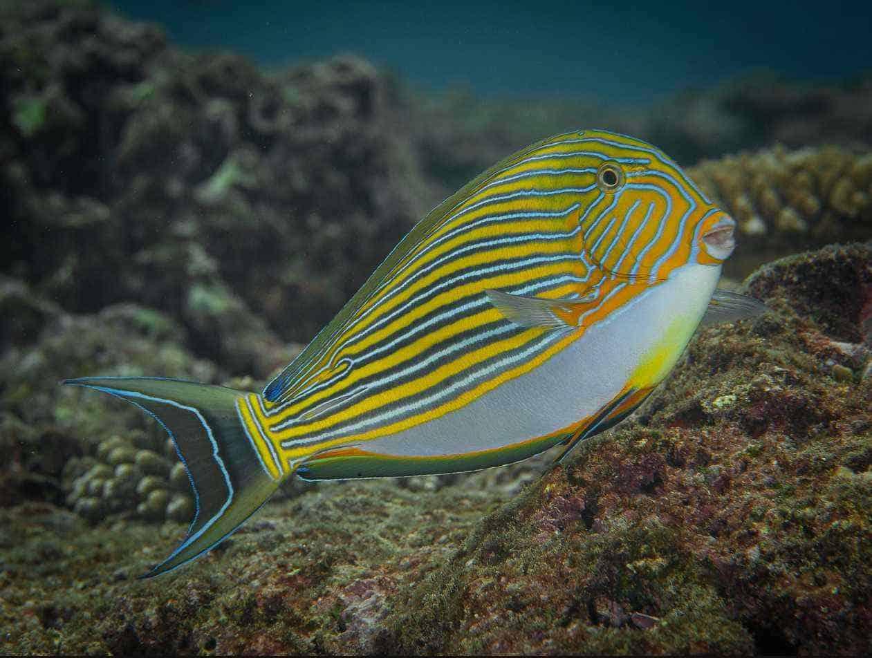 Acanthurus lineatus - Lined surgeonfish