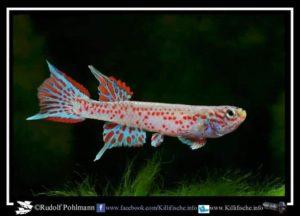 Aphyosemion lamberti - GHH 97-11