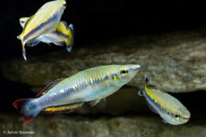 Bedotia geayi - Red-Tailed Silverside