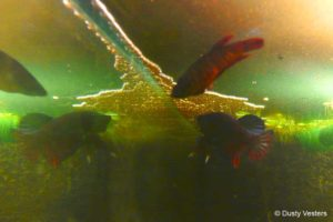 Betta imbellis - Crescent Betta are getting ready for spawn