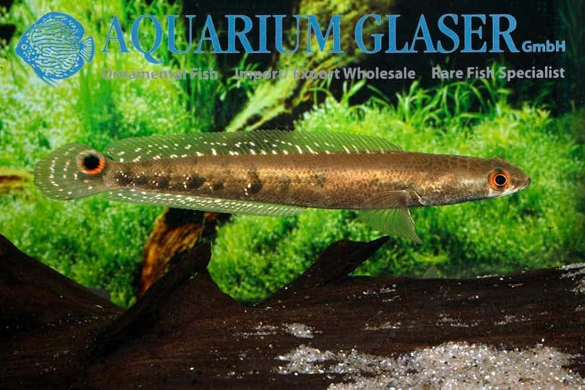 Channa marulioides