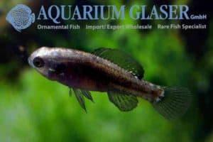 Elassoma evergladei - Everglades Pygmy Sunfish
