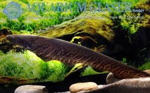Gymnotus carapo - Banded Knifefish - Male