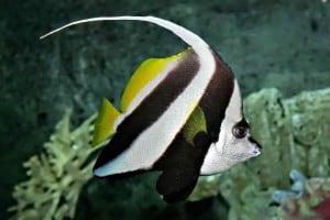 Heniochus acuminatus - Longfin Bannerfish