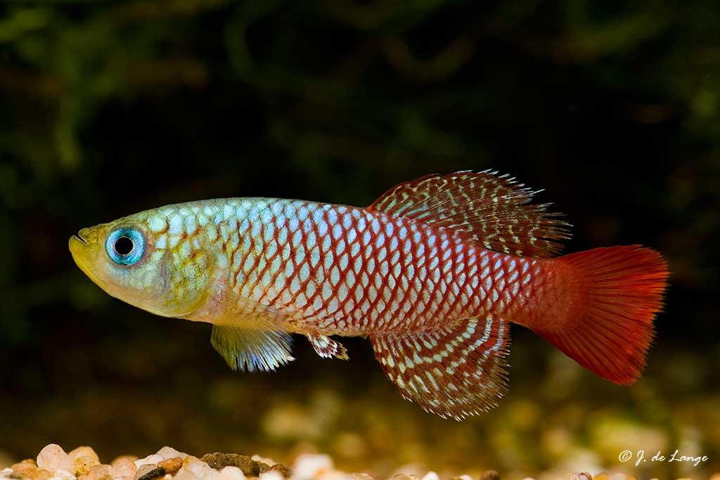 Nothobranchius palmqvistii - Gezani Tan9516 - Male