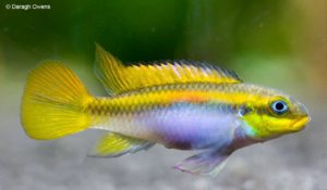 Pelvicachromis taeniatus - Striped Kribensis - Female