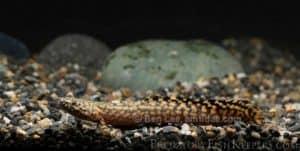 Polypterus ornatipinnis