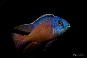 Protomelas taeniolatus - Boadzulu - Red Empress - Male
