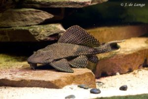 Pterygoplichthys gibbiceps - Sailfin Pleco