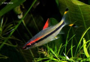 Sahyadria denisonii - Red Line Torpedo Barb