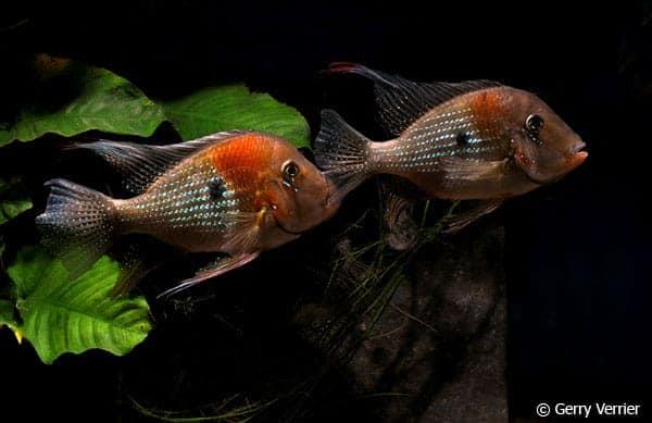 Acarichthys heckelii - Pair