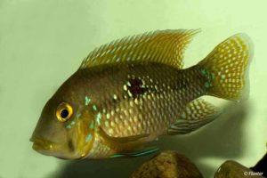 Geophagus brasiliensis - Pearl Cichlid