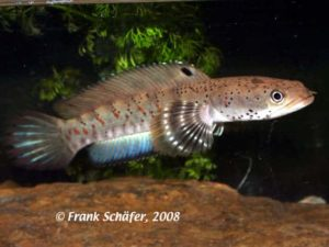 Channa Pulchra - Peacock Snakehead
