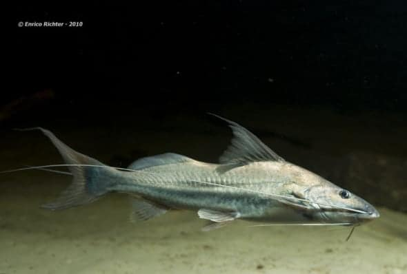 Catfish: Understanding these scavengers