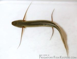 Protopteridae