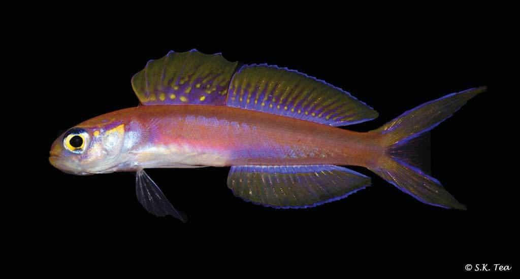 Navigobius kaguya - Kaguya's dartfish