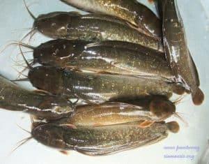 Clarias macrocephalus - Bighead Catfish