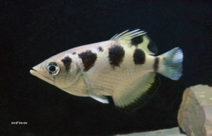 Toxotes chatareus - Spotted Archerfish