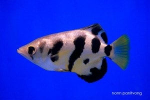 Toxotes microlepis - Smallscale Archerfish