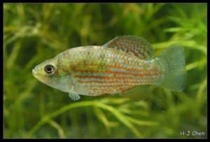 Jordanella floridae - American-Flag Fish - Male