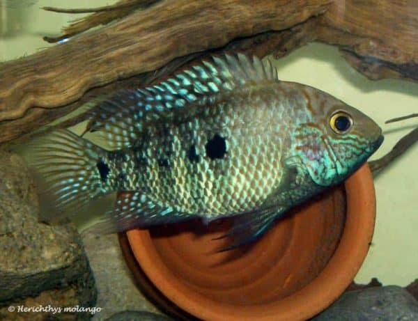 Herichthys tepehua - Rio Pantepec - Female
