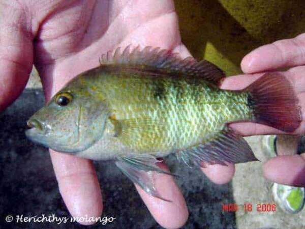 Herichthys tepehua - Rio Tenixtepec
