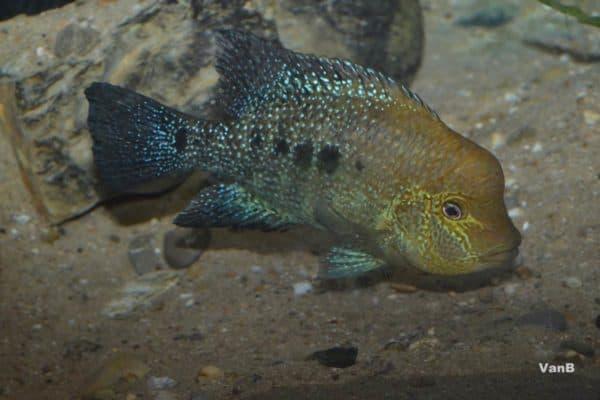 Herichthys minckleyi - Rio Los Mezquites