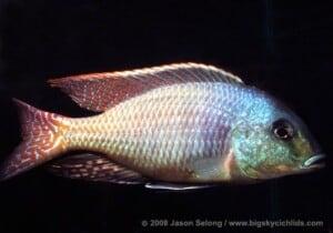 Chilotilapia rhoadesii - Male