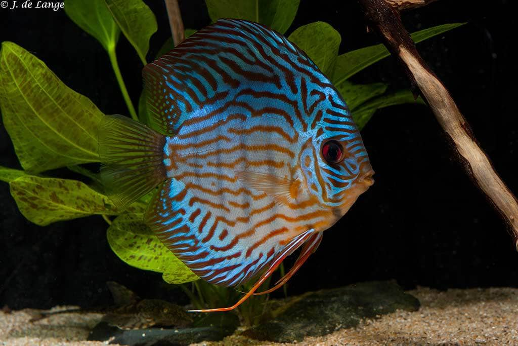 My experiences with Discus - Part I - AquaInfo