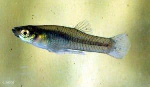 Gambusia affinis - Mosquitofish - Male