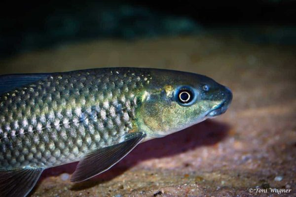 Labeo cylindricus - Redeye Labeo