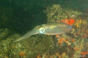 Sepioteuthis sepioidea - Caribbean Reef Squid
