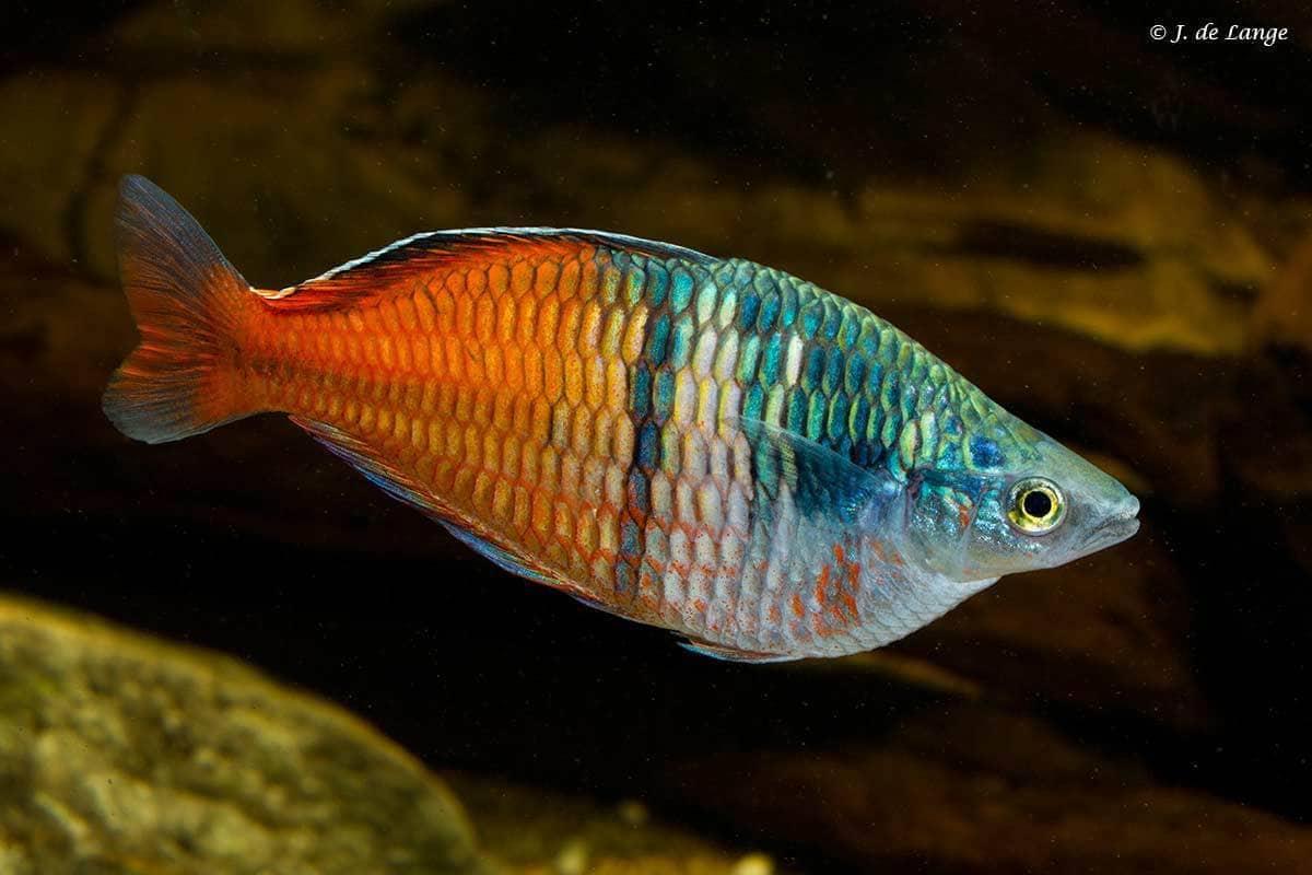 Melanotaenia boesemani - Boeseman's Rainbowfish