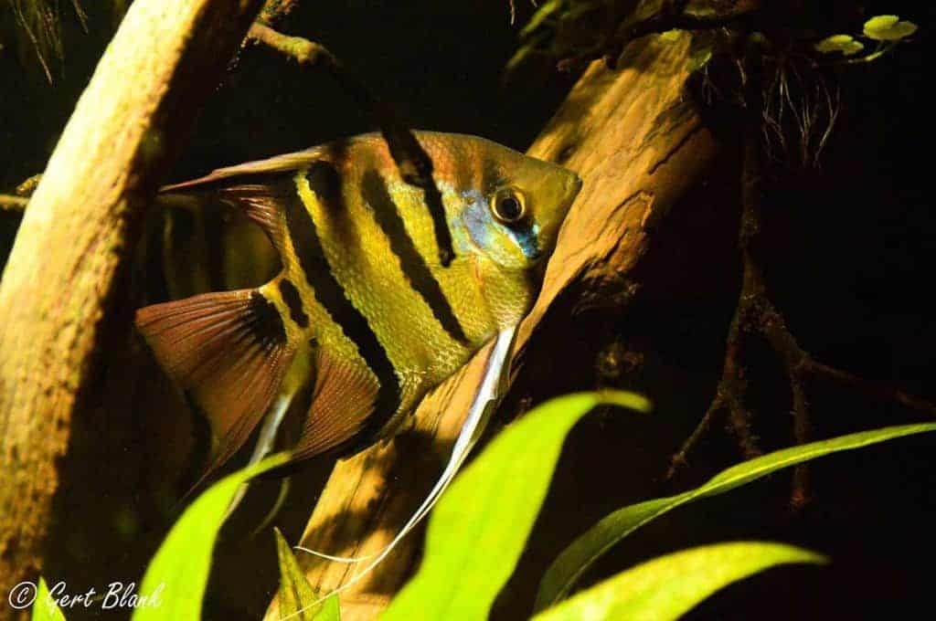 Pterophyllum leopoldi - One fish of a couple during mating